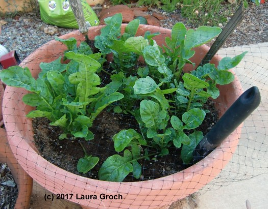 Arugula growing in a container in the garden. (Photo by Laura Groch)